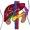 【初心者の腹部エコー】疾患のエコー画像と見方の一覧(肝臓・胆嚢・脾臓・膵臓・腎臓・消化管)