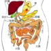 【初心者向け】腹部エコー(超音波)画像と疾患の見方~消化管編:胃・大腸~